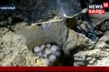 VIDEO- കടലാമയുടെ മുട്ടകൾ കാക്കാൻ ഗ്രീൻഹാബിറ്റാറ്റ്