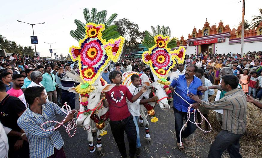 മൈസുരുവിൽ സ്വന്തം കന്നുകാലികളുമായി മകരസംക്രാന്തി ആഘോഷിക്കുന്നവർ